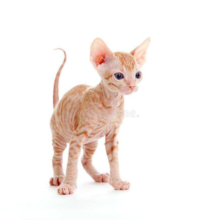 滑稽的无毛的查出的小猫sphynx平纹 免版税图库摄影