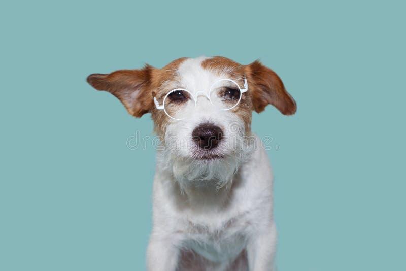 滑稽的智力杰克罗素狗佩带的白色眼睛玻璃 免版税图库摄影