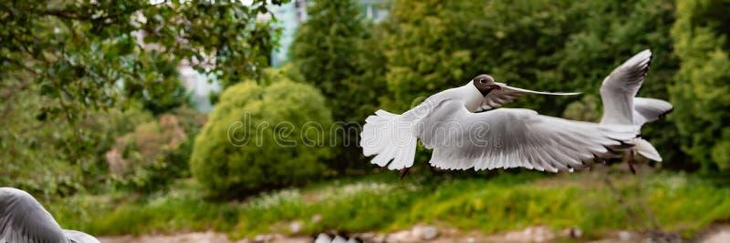 滑稽的海鸥飞行 库存图片