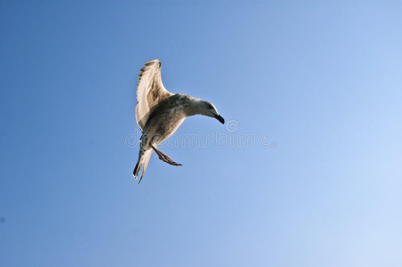 滑稽的海鸥 免版税库存照片