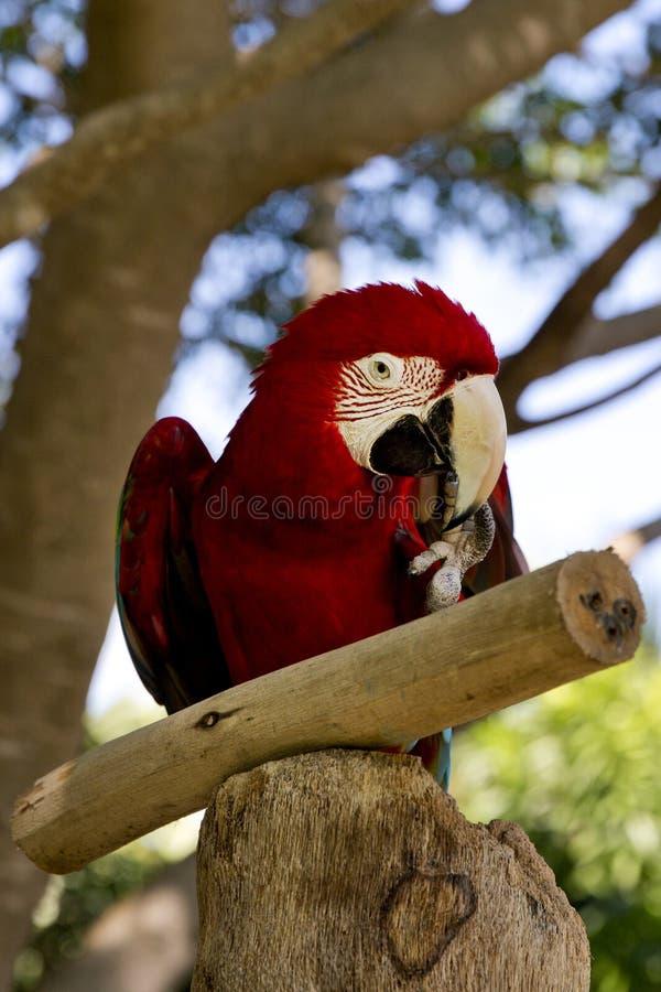 滑稽的热带鹦鹉,加勒比 库存图片
