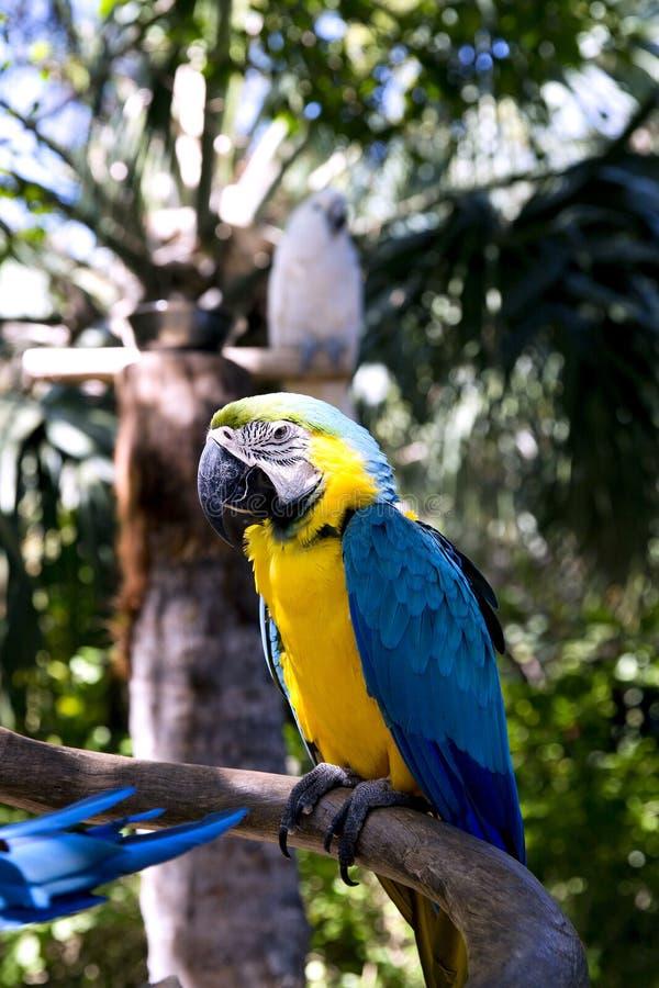 滑稽的热带鹦鹉,加勒比 库存照片