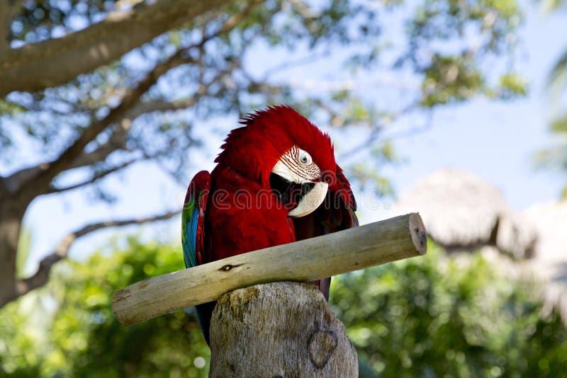 滑稽的热带鹦鹉,加勒比 免版税库存图片