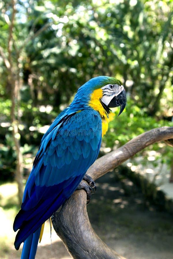 滑稽的热带鹦鹉,加勒比 免版税库存照片