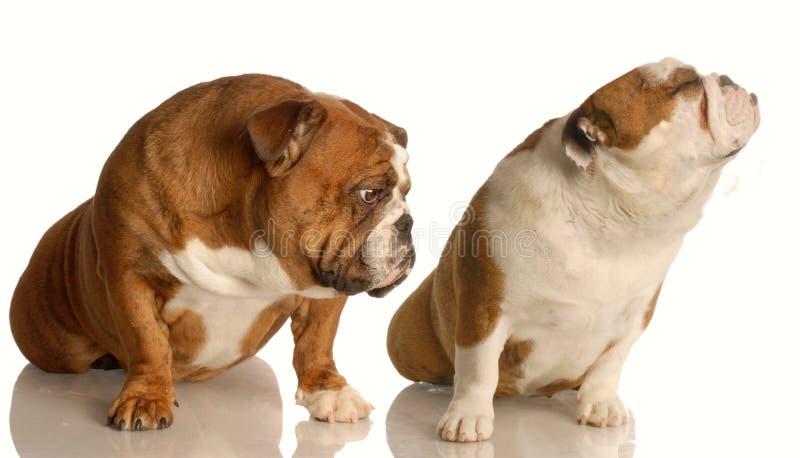 滑稽的犬战 免版税库存图片