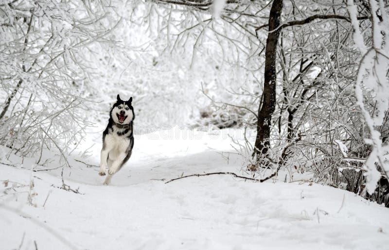 滑稽的狗品种爱斯基摩通过多雪的森林跑 免版税图库摄影