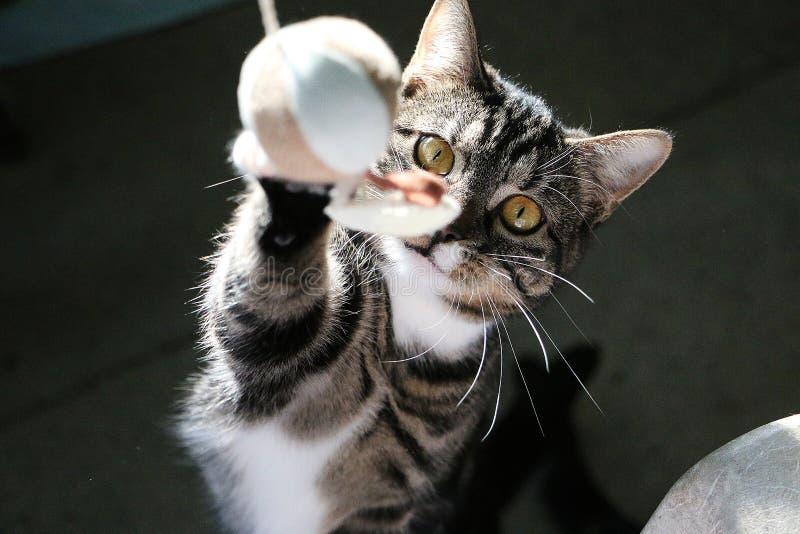 滑稽的猫使用与一个腾空球 库存图片