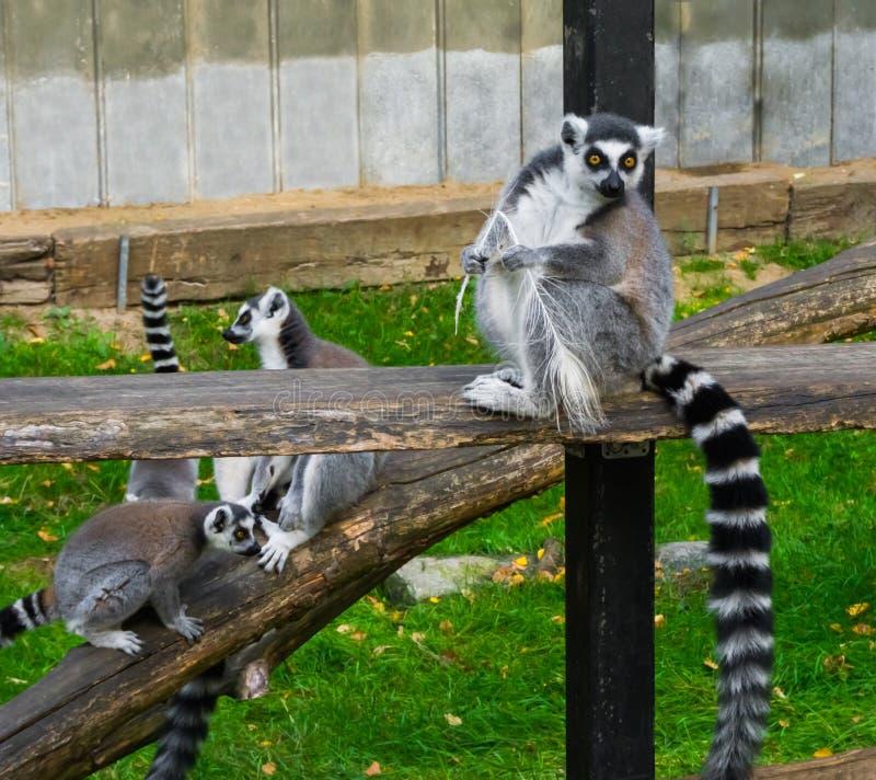 滑稽的环纹尾的狐猴使用在背景中的猴子拿着羽毛的和狐猴 免版税库存图片