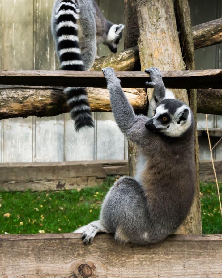 滑稽的环纹尾的狐猴猴子,使用和摇摆在一个木板条 图库摄影