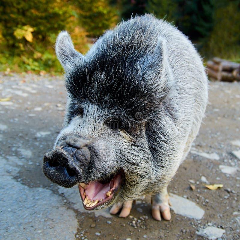 滑稽的笑的灰色猪的画象在路的 免版税库存图片