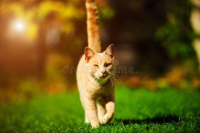 滑稽的红色猫 库存照片