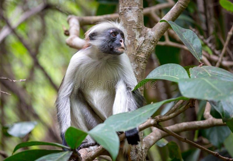 滑稽的红色短尾猴在森林里 免版税库存照片