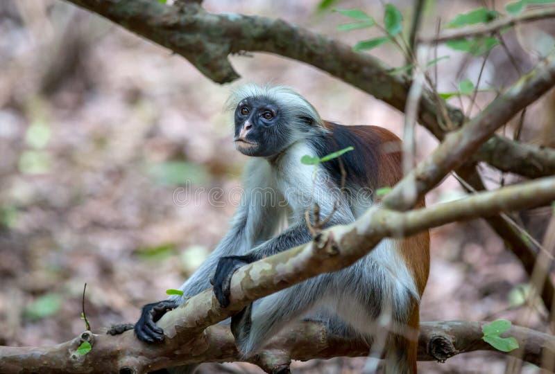 滑稽的红色Colobos猴子 免版税库存照片