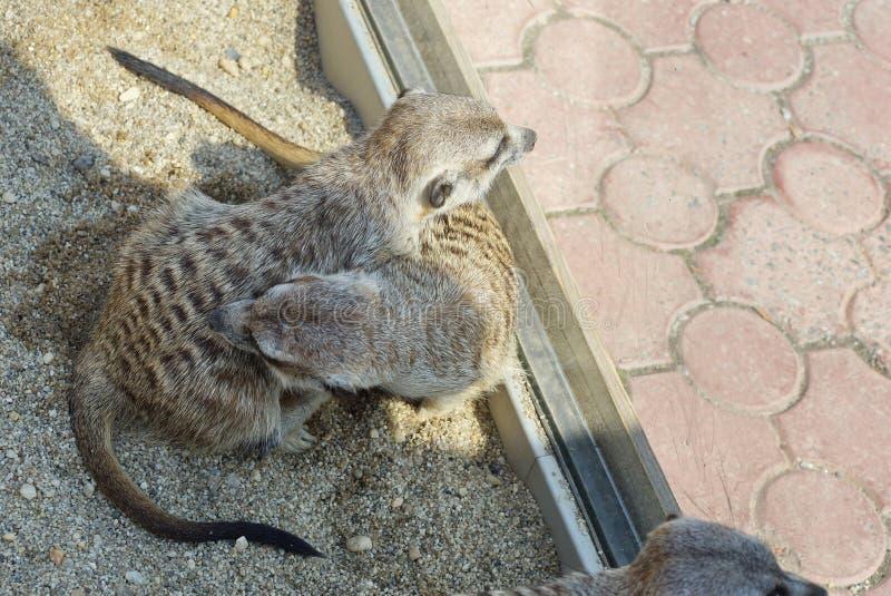 滑稽的蓬松两被察觉的猫鼬 免版税库存图片