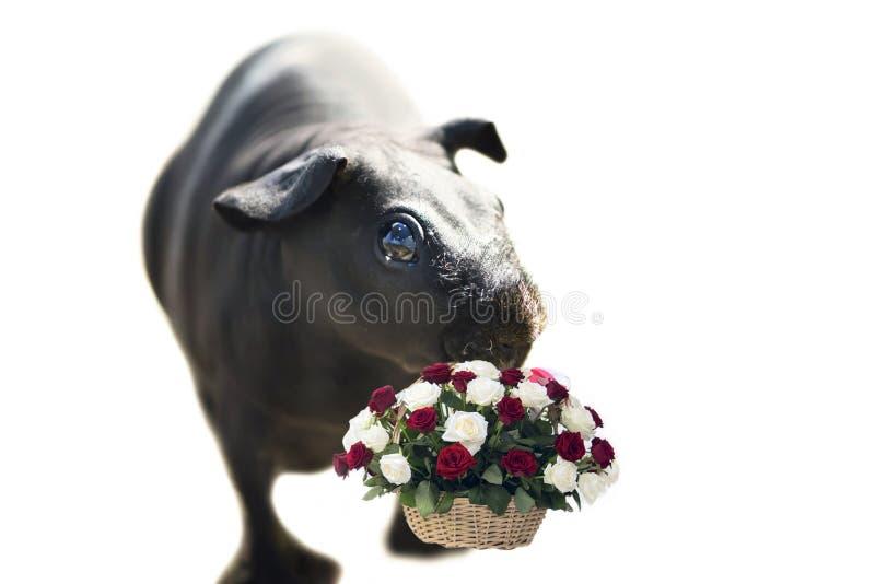 滑稽的赤裸在白色的海皮包骨头的猪 免版税图库摄影