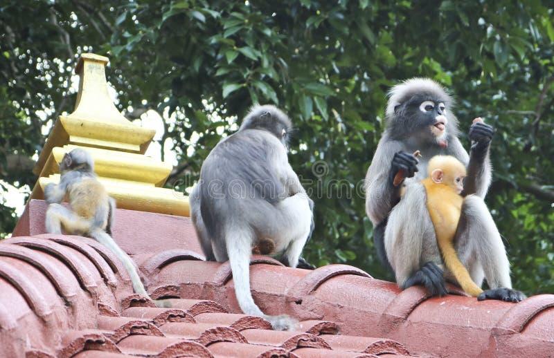 滑稽的逗人喜爱的猴子戴了眼镜叶猴Trachypithecus obscurus在国立公园 母猴子和她的小黄色婴孩 库存照片