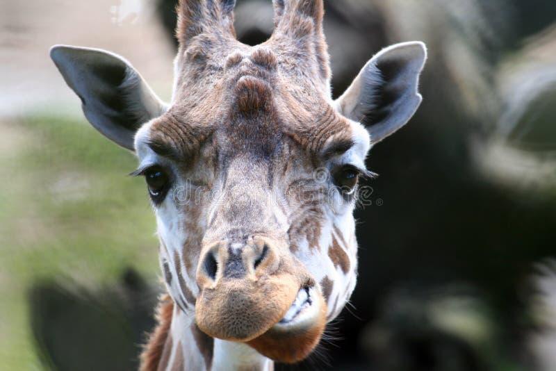 滑稽的长颈鹿 库存图片