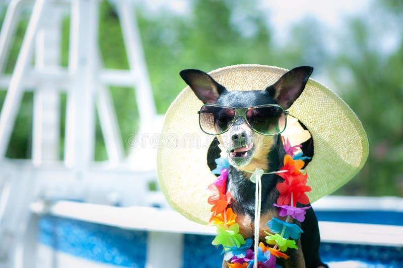 滑稽的面孔狗、一条狗的滑稽的由水池的画象在花项链的和太阳镜 库存照片
