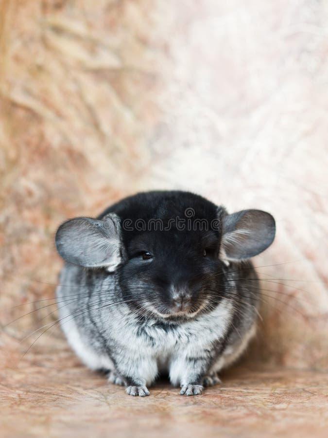 滑稽的面孔蓬松蓝灰色国内黄鼠 免版税库存图片