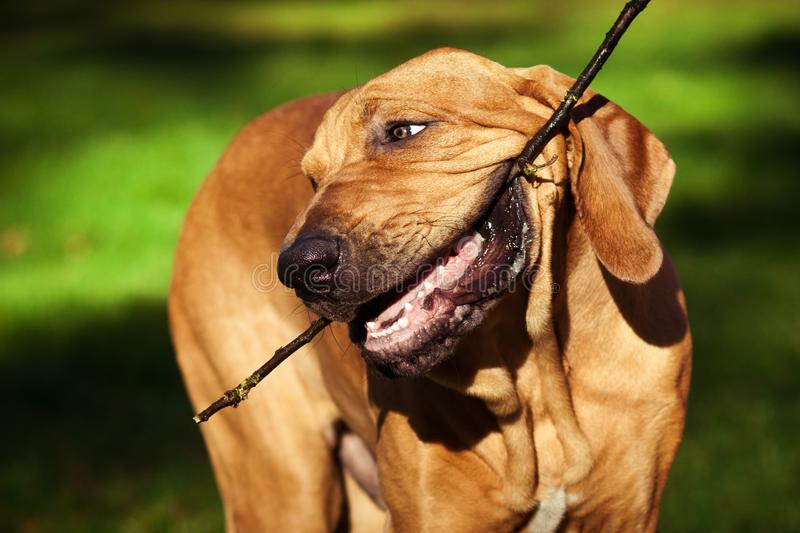 滑稽的面孔起了皱纹丝状部分Brasileiro小狗画象 免版税库存图片