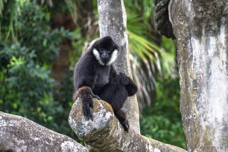 滑稽的面对的男性北白的Cheeked长臂猿Nomascus leucoge 免版税库存图片