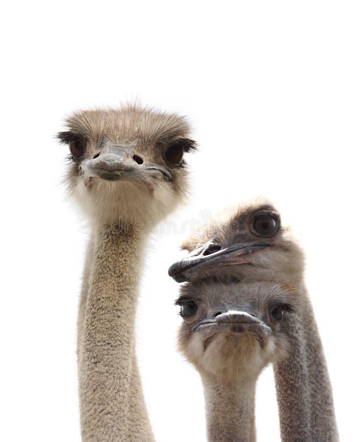 滑稽的驼鸟 免版税库存图片