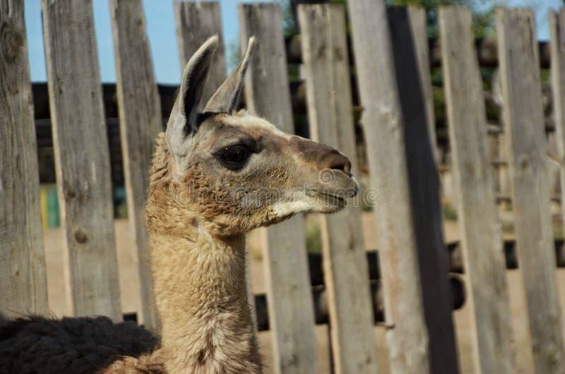 滑稽的骆马等待的食物 免版税库存照片