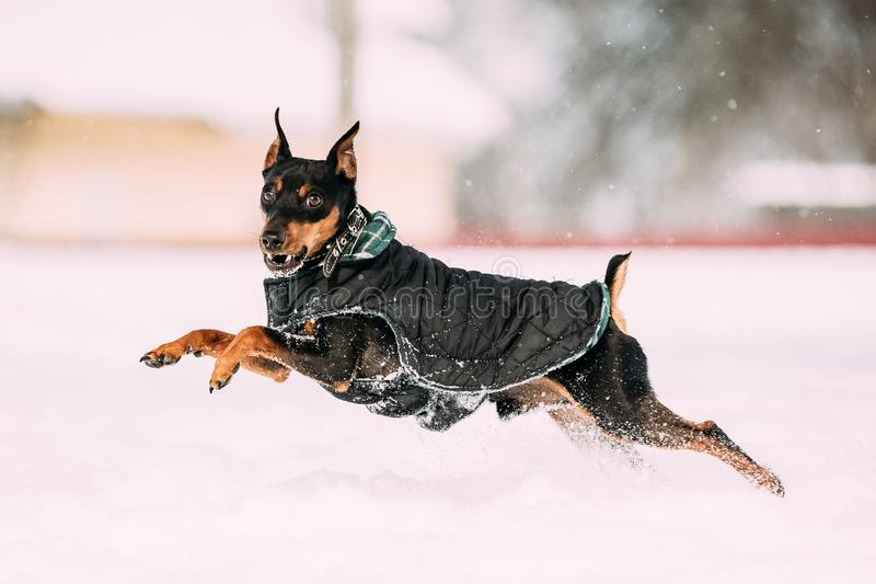 滑稽的黑微型短毛猎犬Zwergpinscher,极小Pin狗使用 免版税图库摄影