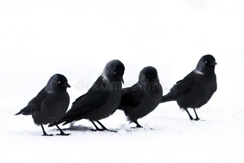 滑稽的黑鸟去白雪 图库摄影