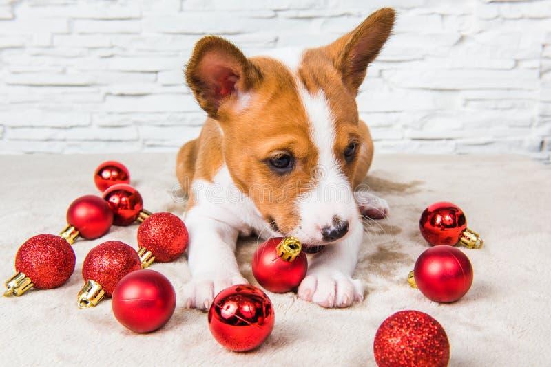 滑稽的Basenji小狗和红色圣诞节球 库存图片