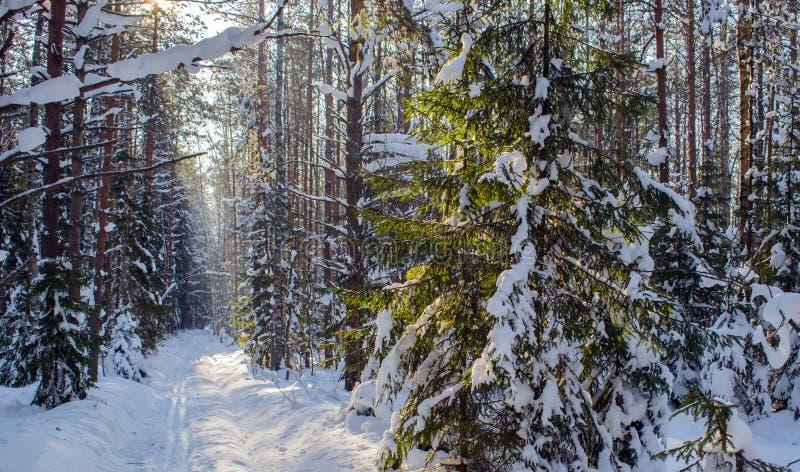 滑雪足迹在一个密集的杉木森林里 免版税图库摄影