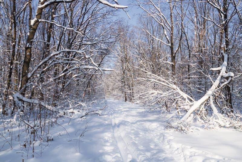 滑雪轨道在一个晴朗的多雪的冬天森林里,随风飘飞的雪,在树枝的雪 免版税库存照片