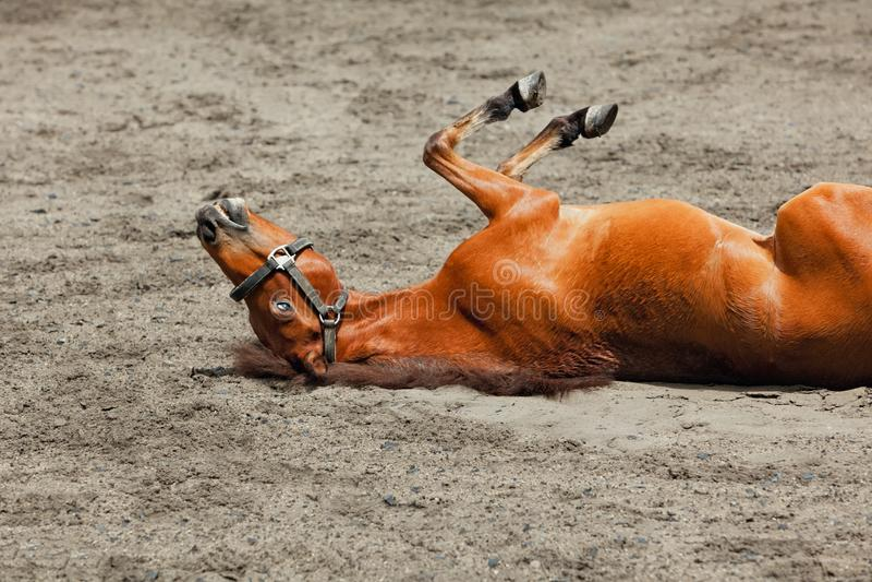 滚动颠倒与乐趣的幼小马 免版税库存图片
