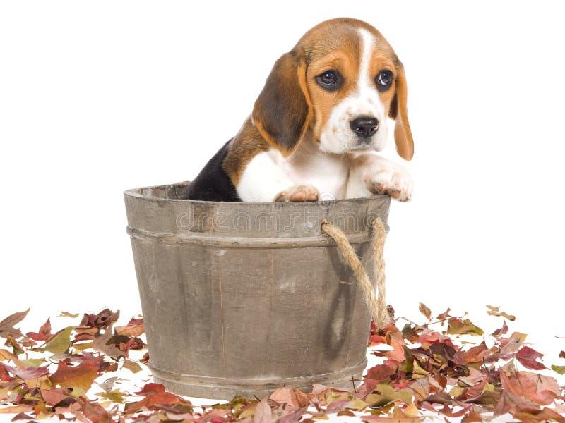 滚磨小猎犬小狗哀伤的大桶 库存图片