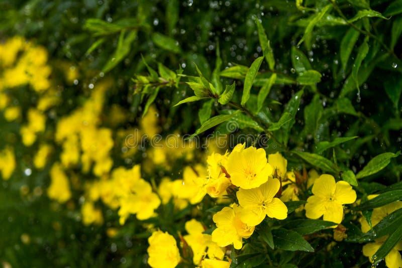 满地露水的晚樱草在花圃里在装饰庭院里在一个雨天 免版税库存图片
