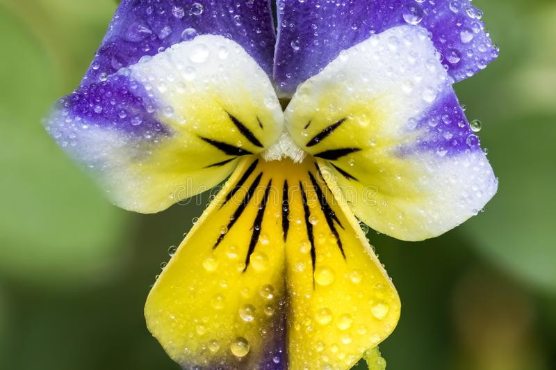 满地露水的紫色和黄色约翰尼跳  免版税库存图片