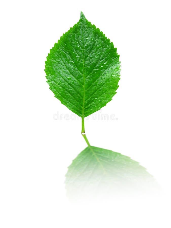 满地露水的绿色叶子反映 库存图片