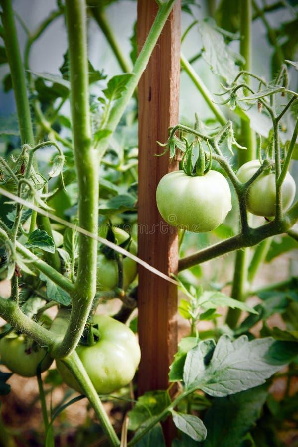 满地露水的绿色蕃茄在庭院里 图库摄影