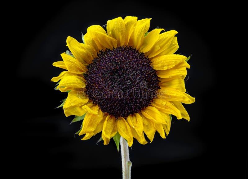 满地露水的黄色向日葵有黑背景 免版税库存照片