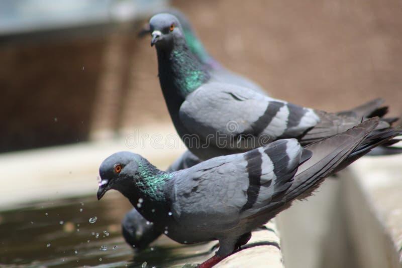 满足干渴的鸽子在夏天中间  库存图片