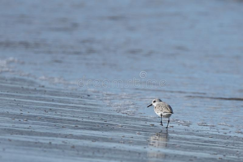 滨鹬Calidris alpina在海滩三角洲del埃布罗的小涉过 库存照片