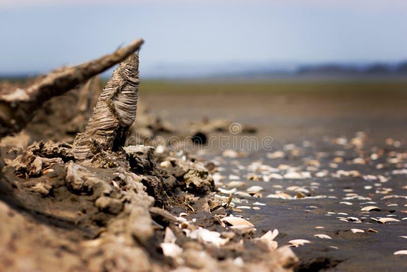 漂泊木头和蛤蜊壳 免版税库存照片