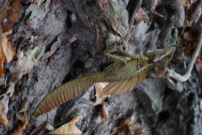 漂流木头鬣鳞蜥jc沙子身分 库存图片