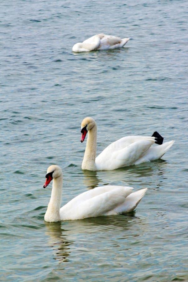 漂浮在一个巨大的池塘的对白色天鹅 库存图片
