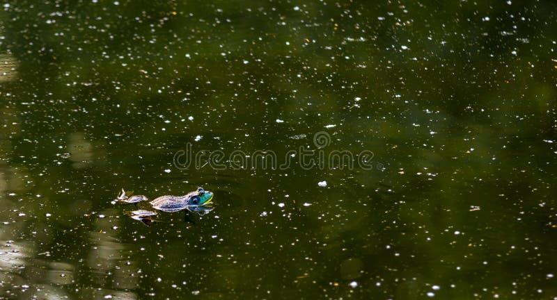 漂浮在一个黑暗的绿色池塘的美国牛蛙 库存照片
