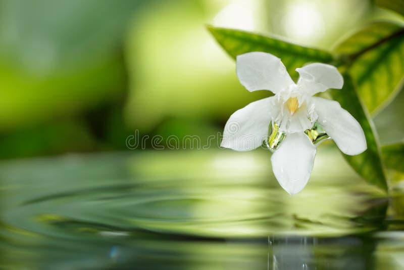 漂浮在与小滴的水的白花在庭院里。 免版税图库摄影