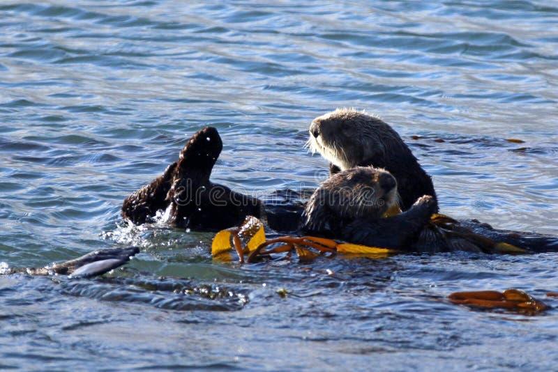 漂浮在中央海岸的海带的海獭[Enhydra lutris]在莫罗贝加利福尼亚美国 免版税库存照片