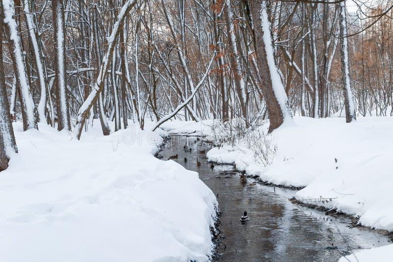 漂浮在冬天河的野鸭 免版税图库摄影