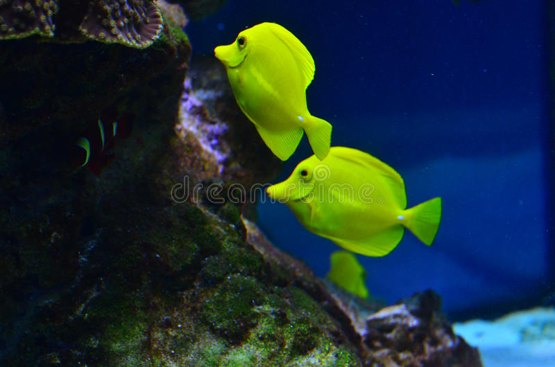 漂浮在岩石和海草附近的两条黄色鱼 免版税库存照片