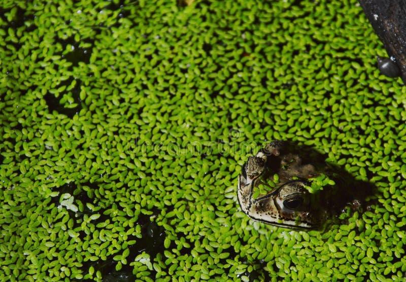 漂浮在放松的水中的蟾蜍在夜 免版税库存照片
